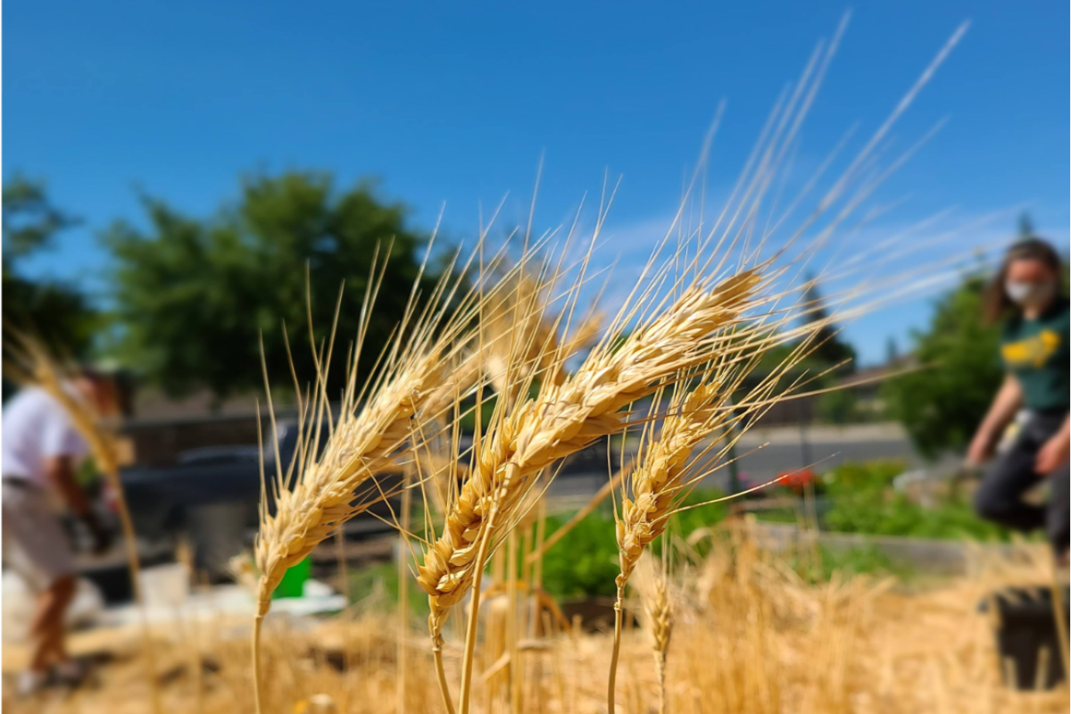 Harvesting Hard Red Spring wheat variety Summit 515 at Whitehead Elementary school in Woodland, California – the second school to grow wheat as part of the Wheat 2 Schools project.