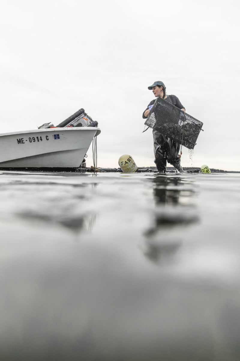 Emily Selinger, who runs Emily's Oyster, relocates oyster cages at low tide in Maine's Casco Bay.