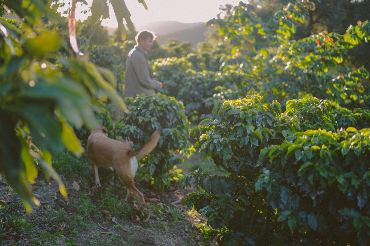 Jay Ruskey's Good Land Organics coffee farm in Goleta, California. (Photo credit: Alex Nye)