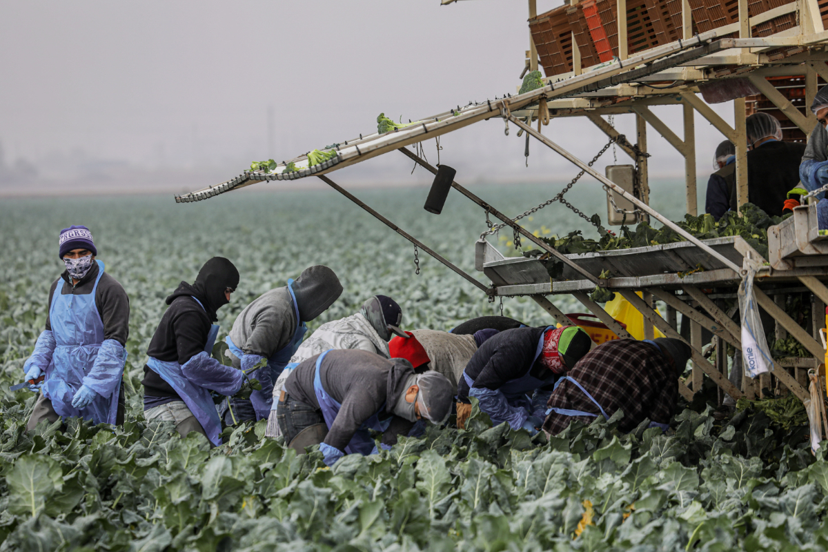 CALEXICO, CA - JANUARY 22: Farmworkers pick broccoli in a field on January 22, 2021 in Calexico, California. President Joe Biden has unveiled an immigration reform proposal offering an eight-year path to citizenship for some 11 million immigrants in the U.S. illegally as well as green cards to upwards of a million DACA recipients and temporary protected status to farmworkers already in the United States.(Photo by Sandy Huffaker/Getty Images)