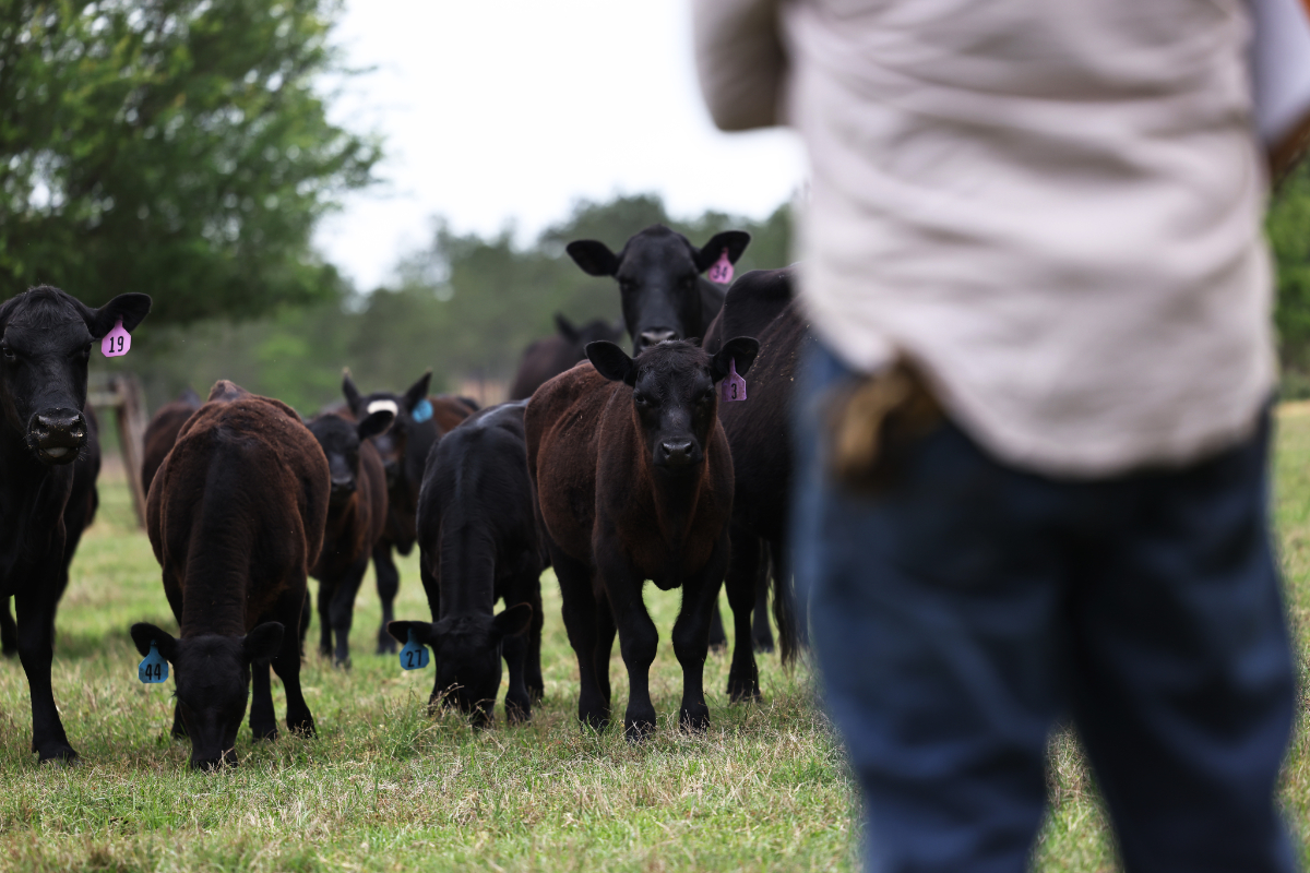 a farmer looks at his beef cows and wonders how they produce so much methane.