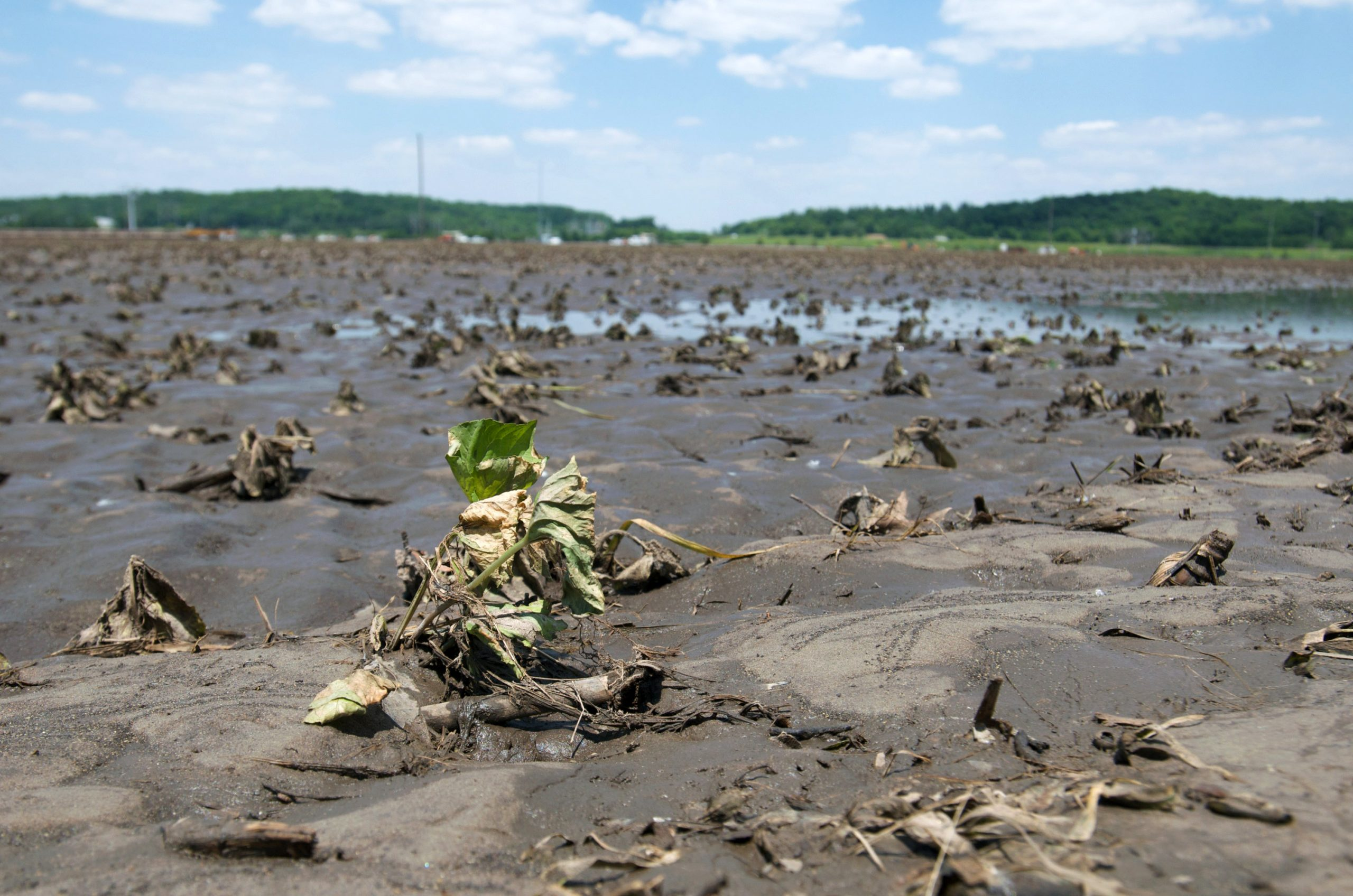 Flood damaged soybeans are seen on a farm on June 18, 2008 in Cedar Rapids, Iowa. (Photo by David Greedy/Getty Images)